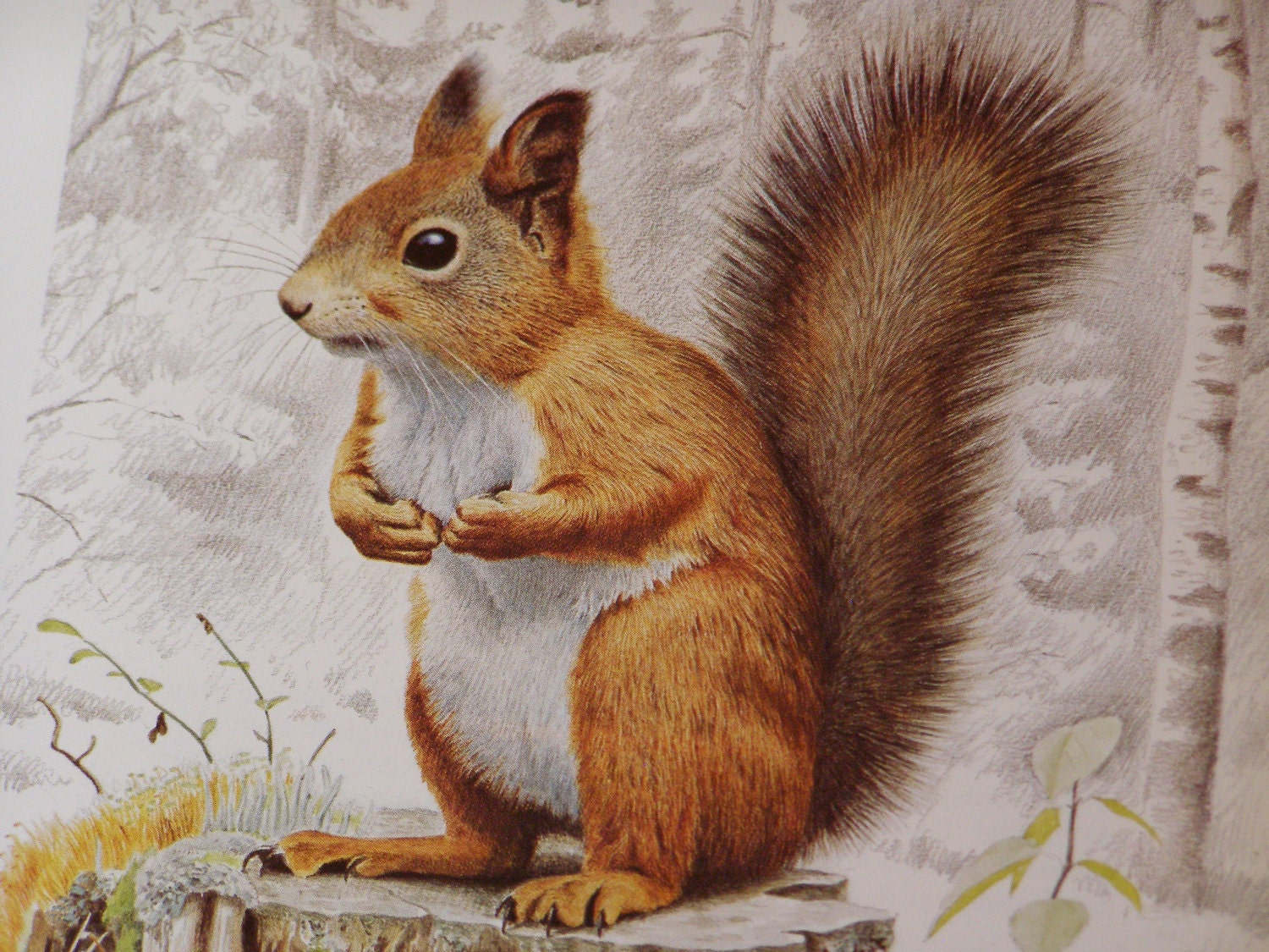 Reserved For Camilla Vintage Illustration Of A Squirrel By