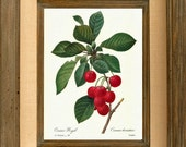 REDOUTE Red CHERRIES 8X10 Botanical Art Print Antique Beautiful Red Royal Cherry Fruit Wall Hanging Home Decoration to Frame