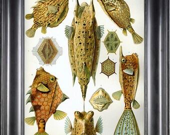 PUFF FISH Print Ernst Haeckel 8X10 Art Print 2 Antique Beautiful Colored Sea Ocean Nature Naturral Science Home Wall Decoration Design