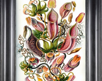 PITCHER PLANT Print Ernst Haeckel 8X10 Art Print 12 Antique Colored Fly Trap Plant Tropical Nature to Frame Home Interior Design Decor