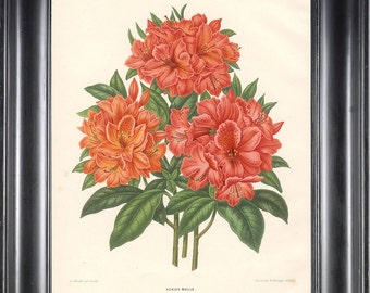 BOTANICAL PRINT Wendel 8x10 Botanical Art Print 5 Beautiful Azalea Mollis Flower Spring Summer Garden Plant to Frame