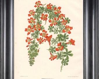 BOTANICAL PRINT Wendel 8x10 Botanical Art Print 6 Beautiful Tropaeolum Orange Flower Spring Summer Garden Plant to Frame