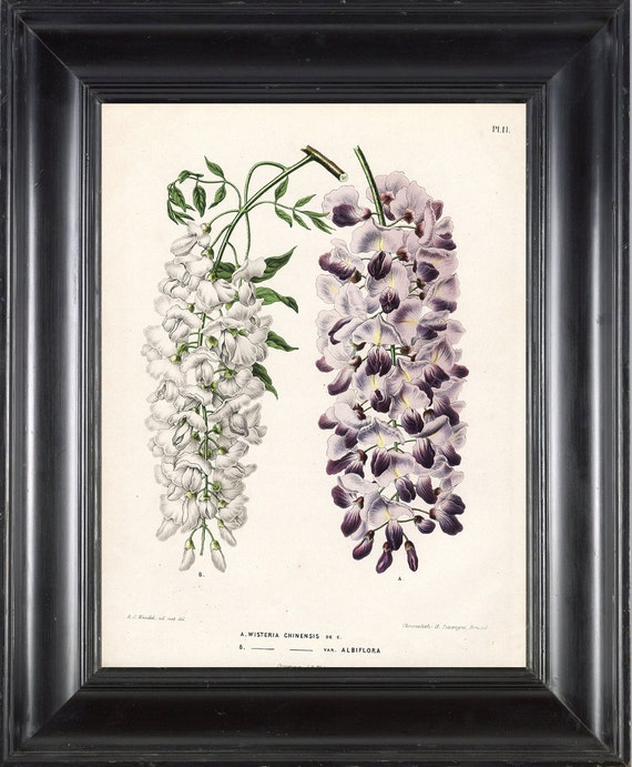 BOTANICAL PRINT WITTE 8x10 Botanical Art Print 2 Antique Multicolored Chinese Wisteria White and Purple Violet Flowers Spring Tree Plant