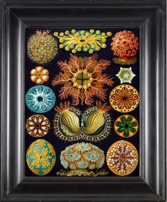 CORAL PRINT Ernst Haeckel 8X10 Art Print 8 Antique Handcolored Blue Orange Beautiful Corals to Frame Interior Design Room Decor