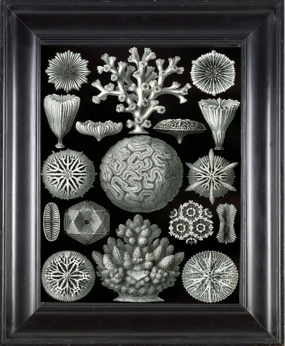 CORAL PRINT Ernst Haeckel 8X10 Art Print 9 Antique Black and White Beautiful Coral Sea Ocean to Frame Interior Design Contemporary Decor
