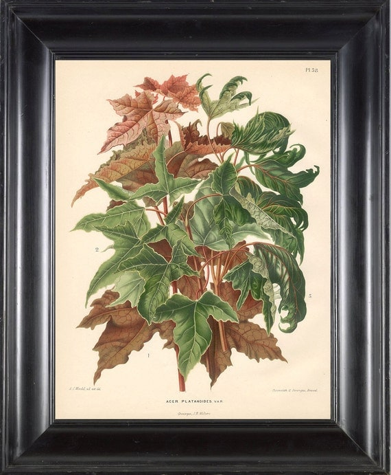 BOTANICAL PRINT Wendel 8x10 Botanical Art Print 9 Beautiful Acer Palanoides Leaf Garden Plant to Frame Interior Decoration Room Design