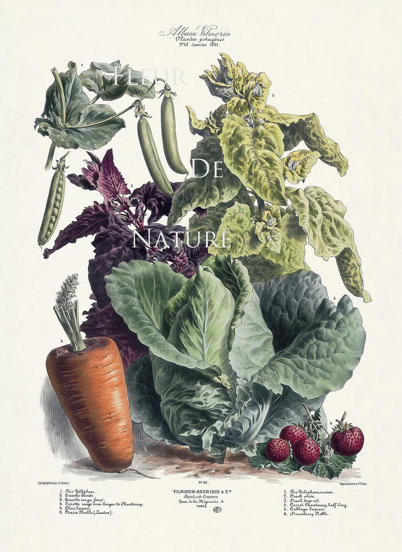 FRENCH VEGETABLE Garden 8X10 Botanical Art Print 42 Antique