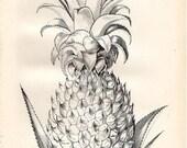 Antique Pineapple print