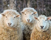 Ewes, Sheep, winter, photography, fine art, wall decor, wool, humorous, country