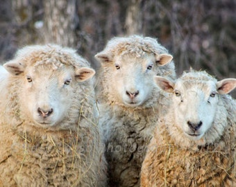 Sheep Photography, Fine Art, Ewes, wall decor, wool, humorous, country living, photo print, Barb Lassa