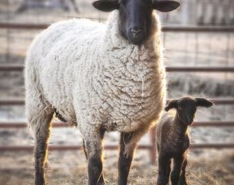 Ewe, lamb, fine art, photograph, Barb Lassa, Suffolk, sheep, spring