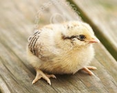 Baby chick photograph