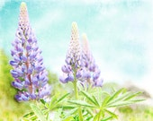 Photography - Maine Lupines in Pastel Shades of Purple Turquoise & Green Shabby Chic 8x10