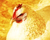 Photography - Rustic Chicken - Country Kitchen Art - Golden Tones 8 X 10
