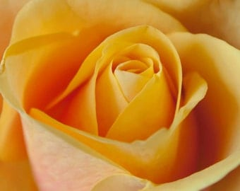 Yellow Rose photo Digital Download Fine Art Photography nature print rose wall art
