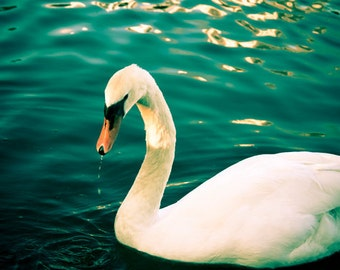 Swan Photograph Digital Download Photography white swan print nature teal wall art