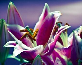 Lily photograph Digital Download Stargazer Lilies Fine Art Photography floral pink blue purple print  wall art