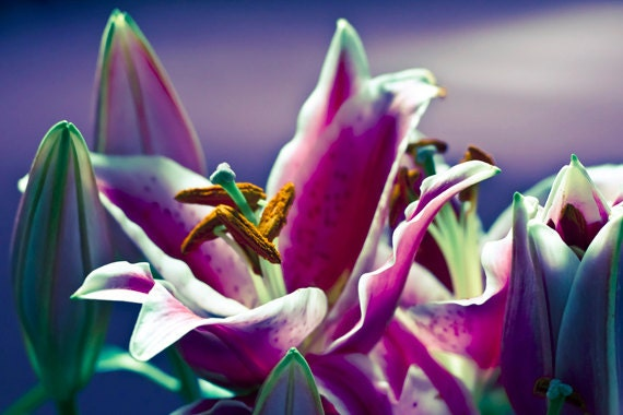 Lily photograph Digital Download Stargazer Lilies Fine Art Photography floral pink blue purple print  wall art
