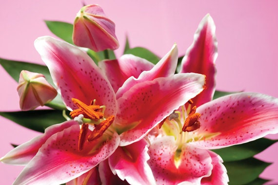 Lily photograph Digital Download Stargazer Lilies Fine Art Photography floral pink orange print wall art