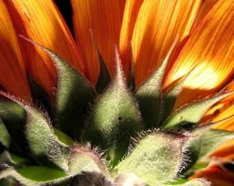 suburban grown sunflower // Overland Park, KS // close-up // sunflower // gold // green