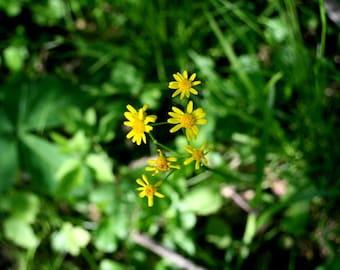 cluster // Overland Park, KS // yellow // green // flowers // small // centered // fine art print
