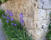France Photography, Fine Art Photography  8 x 10  Print, Flowers, Irises, Nature, Home Decor - Irises and Wall, Giverny, France