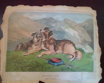 vintage print Shepherd's Dogs. After F. Tayler  not framed