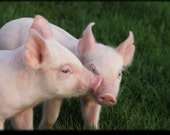 Piggy Kiss