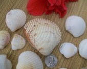 Natural Florida sea shells, craft shells, beach home decor, jewelry supplies, cockles, arks (Lot 97)