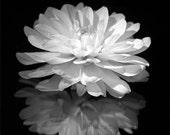White Dahlia 2