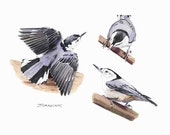 Bird Print:  White-breasted Nuthatch studies - jturanchik