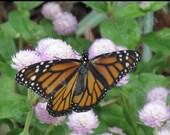Monarch, Open (5x7) - Art Photo Print - Animal Nature Photography