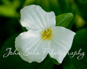 """Trillium in full Bloom  -   8"""" x 10"""" or size of your choice"""