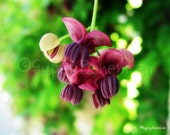 wine blossoms - 8 x 8 - nature - garden - fine art - mother's day - home decor