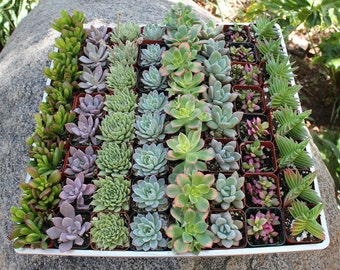 """110  Gorgeous 2"""" Succulents Perfect for WEDDING FAVORS and Party Favors succulent collection"""