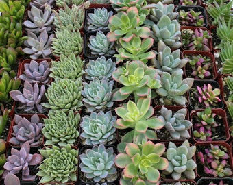"100  Gorgeous 2"" Succulents Perfect for WEDDING FAVORS and Party Favors succulent collection"