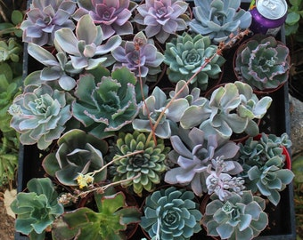 60 (Sixty) Assorted ECHEVERIA Succulents in their 4 inch plastic containers shower party WEDDING FAVORS gifts plants succulent