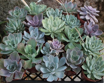 24 ECHEVERIA Succulents in their 4 inch plastic containers beautiful for wedding shower FAVORS party gifts plants succulent