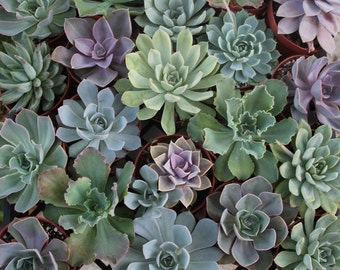 70 Assorted ECHEVERIA Succulents in their 4 inch plastic containers wedding shower FAVORS party gifts plants succulent