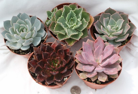 9  Beautiful Colorful Echeveria Succulents in their 4 inch plastic containers  wedding shower favors party gifts plants succulent