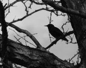 The Crow - 8x10 - FINE ART PRINT
