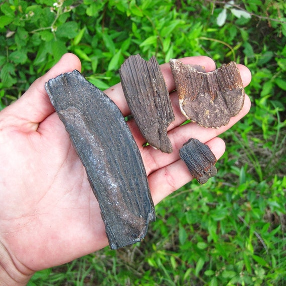 Columbian Mammoth Tooth Fossil Fragments (4) from Florida - 10,000 Years Old