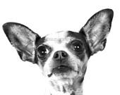 Chihuahua, dog, animals, pets, fine art photography, portraits, home decor