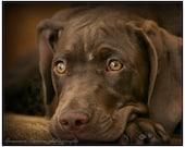 Brown Weimeraner Mix Portrait, animals, pets, fine art photography, home decor, dog lover