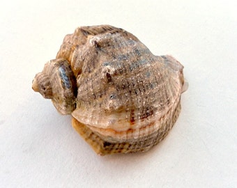 "Snail-rapana from the Black Sea.( about3"") - southeastern Europe -absolutely natural - sea shells home decor"