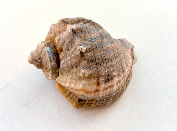 """Snail-rapana from the Black Sea.( about3"""") - southeastern Europe -absolutely natural - sea shells home decor"""