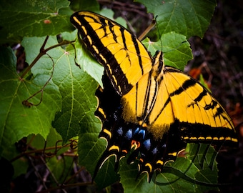 Yellow Monarch Butterfly on Wild Grape Vine - Photograph - Luster Print - Arizona Natural Details- Photograph by Nowells Photography