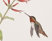 Rufus Hummingbird 2  (Limited Edition Giclee Print)