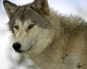 Wolf Photo Greeting Card