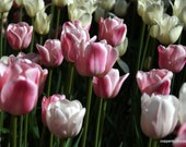 Trio of 8 X 10 Fine Art Photos of Tulips in Bloom